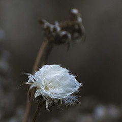 White beauty (KWaterhouse) Tags: weed white feathery purity bokeh small autumn fall innocence drab contrast ajaxwaterfrontpark ajax durhamregion ontario canada detail nikond5300