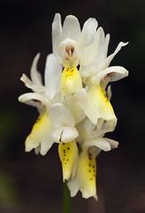 20160323-042F (m-klueber.de) Tags: 20160323042f 20160323 2016 mkbildkatalog griechenland ionische inseln zakynthos südeuropäische mediterrane ostmediterrane flora orchidee orchidaceae orcpauc orchis pauciflora wenigblütiges knabenkraut