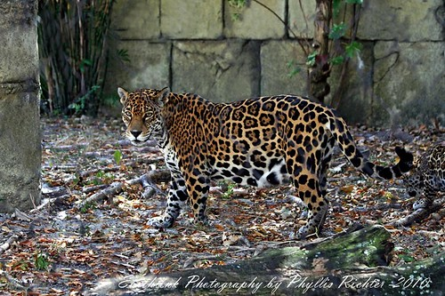 PALM BEACH ZOO_JAGUAR_MAYA