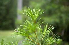 Needles (Ed Dertinger) Tags: bca bayardcuttingarboretum 2013 062013 35mmf18afsdxnikkor 06302013