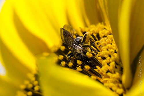 Sunflower bee's wings