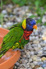 Rainbow Lorikeet (anthony_franklin923) Tags: columbus macro bird nature animal photography zoo franklin photo rainbow lorikeet anthony lory 105mm trichoglossus haematodus d3100