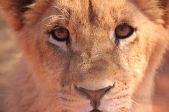 Eye of the Lion (Tessaan) Tags: africa portrait eye animal southafrica lion afrika løve animaleye sydafrika
