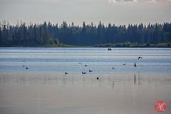 Elk Island in August .. 2 (Kasia Sokulska (KasiaBasic)) Tags: park sunset summer lake canada nature beauty landscape island evening national alberta elk astotin