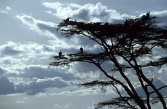 Schlafbaum (2) (fotoculus) Tags: tiere safari afrika kenia nwn masaimara