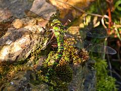 Camouflage (AndyorDij) Tags: empingham rutland uk 2013 insects dragonfly aeshnacyanea andrewdejardin