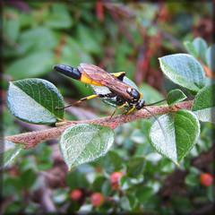 Ichneumon (ShouggieBug) Tags: orange brown black green leaves yellow berries wasp branches ichneumon shrub cotoneaster ichneumonoidea amblytelesarmatorius canonixus220hs