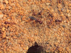 P9053452 (Hunter-Desportes) Tags: life red flying unitedstates south ant hill system queen southern carolina winged colony role sandhills caste