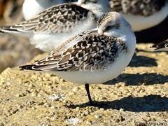 Sanderling (Calidris alba) (Steve Arena) Tags: bird sand migration westport sandpiper gooseberry migrating sanderling migrant shorebird gooseberryisland gooseberryneck