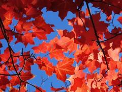 Scarlet foliage (saudades1000) Tags: