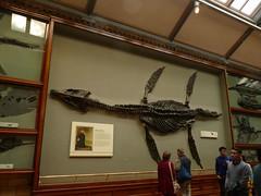 Plesiosaur (langleyo) Tags: observation skeleton fossil dinosaur mary creationism science dorset reality gene