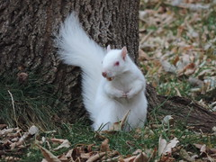 Albino Squirrel Stocking Up For Winter (rabidscottsman) Tags: scotthendersonphotography squareformat squirrel albinosquirrel white albino eating corn minnesota tree wildlife nature animal animalphotography wild wildlifephotography nikon nikonp520 coolpix p520 weekend sunday outdoors autumn fall cute feeding adorable fluffy geneticmutation socialmedia usa unitedstatesofamerica