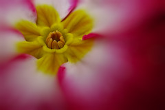 Primrose (Paul Sibley) Tags: flower photoaday alienskinbokeh2 2013inphotos canonpowershota1400