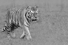 Longleat Safari Tiger Black and White (MeeLux Photography) Tags: life light wild sky blackandwhite bw orange pet cats baby pets brown white black colour cute nature girl beautiful face grass animal animals female standing cat mouth dark fur nose photography grey stand big gg nice paw eyes furry nikon feline flickr pretty noir legs stripes wildlife tiger gray stripe cream adorable fluffy ears 300mm whiskers twig huge tall paws ww dslr greatphotographers allshots wildslife d7000 nikond7000 nikon7000