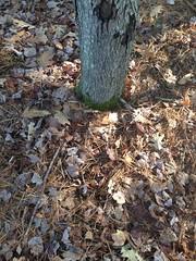 Grounds at the Base of Tree (wesleycrawford1) Tags: leaves deadleaves soil treebark redmapletree redmapleleaf deadsticks