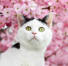 Milo, mon amour de chat (Julia W. Photographies) Tags: pink flower tree cat chat greeneyes stare arbre