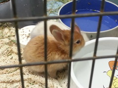 white and red bunny drinking (leighannemcc) Tags: clare clover