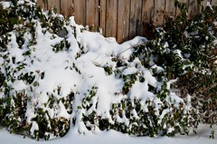 2014 January Snow Storm (Adventurer Dustin Holmes) Tags: winter snow weather bush snowstorm january missouri bushes winterweather 2014 january5th january52014
