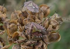 A 'Sloe' journey.... (rockwolf) Tags: hairyshieldbug sloeshieldbug shieldbug dolycorisbaccarum hemiptera heteroptera pentatomidae umbellifer seedhead ismorecoppice shropshire rockwolf explore explored