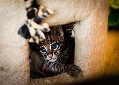 Eyes on the Prize (larry fa) Tags: baby animals cat nikon ocelot d800 cincinnatizoo 2470mm smallcats vision:outdoor=0702