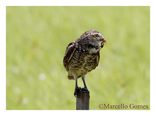 Burrowing Owl (Athene cunicularia) BUOW…Got Field Cricket? (Best seen large)