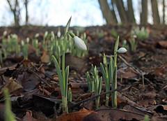 """Snowdrops"" (Robin Bain) Tags: flowers woodland spring snowdrops springflowers robinbain"