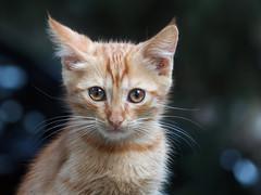 Red kitten (Yalitas) Tags: pet cats cat kat feline chat kitty gato felino katze katzen kot ambereyes kedi kass redcat gatta kotka  kocka  katte  canon60d katzchen kottur canoneos60d