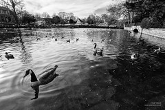 The Lower Pond, Carshalton (cybertect) Tags: bird water river pond thegrove surrey goose canadagoose carshalton riverwandle carshaltonponds canonfd17mmf40 sonya7