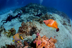 File fish and queen angel fish with divers (b.campbell65) Tags: ocean park travel blue sea fish tourism nature water coral vertica