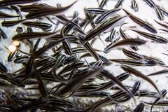 EV7A9528 (cglphoto) Tags: ocean life atlanta sea fish ex water canon ga georgia 50mm aquarium mark atl f14 iii 14 sigma sealife 5d aquatic creatures mk dg mkiii mk3 mark3 markiii hsm 5d3