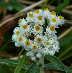 Pearly Everlasting (FancyLady) Tags: newfoundland