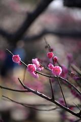 (_Count_Zero) Tags: flower ume makroplanar umeblossoms