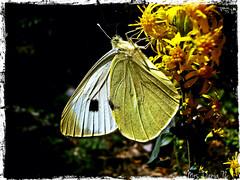 Happy Butterfly (Cris&Dania) Tags: portrait macro nature butterfly italia natura marche farfalla gola olimpus dellinfernacciosibillini