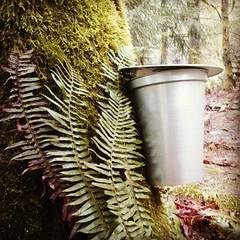 Finally got'em! Tapping Big Leaf Maple Trees in my Yard. (Heath & the B.L.T. boys) Tags: food fern tree yard moss bucket maple organic maplesyrup permaculture instagram