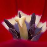 Red Tulip thumbnail