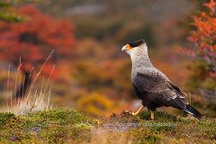 Crested caracara (baddoguy) Tags: patagonia bird argentina animal nationalpark images getty crested gettyimages caracara losglaciares