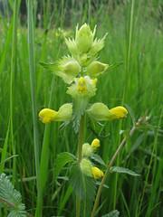 Rhinanthus alectorolophus (aniko e) Tags: flower yellow meadow diversity parasite rattle rhinanthus orobanchaceae lamiales hemiparasite klappertopf zottigerklappertopf rhinanthusalectorolophus greateryellowrattle borzaskakascímer kakascímer