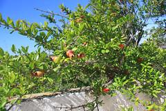 Pomegranates (Marlis1) Tags: jesus pomegranates greenway granatäpfel roquetes viaverda marlis1 canoneos1000d molinsdelcomte