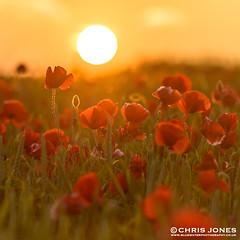 Dorset Poppy Sunset (Chris Jones www.chrisjonesphotographer.uk) Tags: uk chris sunset red england sun west flower me field photography for jones photo photos good farm south explore sake dorset poppy poppies take gods i wwwbluewaterphotographycouk