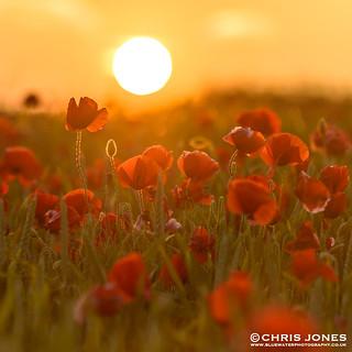 Dorset Poppy Sunset