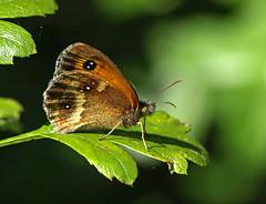 Gatekeeper (Mr Grimesdale) Tags: butterfly butterflies gatekeeper hedgebrown britishbutterflies mrgrimesdale