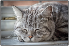 Cat Asleep (andythekeys) Tags: sleeping window cat mouth head ears whiskers shorthair asleep windowsill britishshorthair closedeye tigerblue