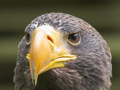 Steller's Sea Eagle (R22GMS) Tags: portrait birds eagle birdofprey wildbirds