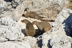 Banded mongoose pair (thewildlifephotographer) Tags: mongoose