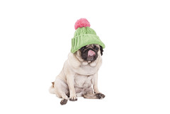 cute pug dog puppy licking nose and wearing a green kniited hat with pink pompon (monicaclick) Tags: adorable animal beautiful beige canine comical cute dog droll funny fur goofy green hat headgear headwear knitted licking licks lovely nose panting pants pet pink pug puppy shorthaired sits sitting smalldog tongue tongueout whitebackground