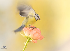 gentle winged (Geert Weggen) Tags: nature animal perennial closeup cute plant funny happy summer ground bright light branch yellow bird tit titmouse flower red rose stem wing fly sweden geert weggen jmtland ragunda