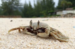 Crab (Andre_SF) Tags: strand thailand krabbe beach nature summer crab sand