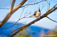 01-12-2016-09am-28-33-080--NIKON D7000-30-device-2000-wm (iSuffusion) Tags: crozet d7000 nikkor70300mmvr virginia birds nikon titmouse unitedstates us