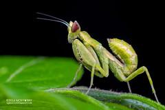 Mantis (Creobroter sp.) - PA120022 (nickybay) Tags: singapore durianloop macro hymenopodidae mantis meantodea creobroter nymph