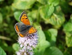 Small copper (rockwolf) Tags: smallcopper lycaenaphlaeas butterfly papillon lepidoptera cuivrcommun watermint menthaaquatica sig shropshireinvertebrategroup brownmoss shropshire rockwolf